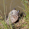 False Map Turtle, Graptemys pseudogeographica pseudogeographica 1259
