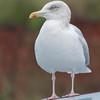 Herring Gull, Larus argentatus 5384