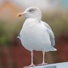 Herring Gull, Larus argentatus 5386