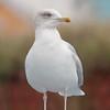 Herring Gull, Larus argentatus 5389