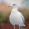 Herring Gull, Larus argentatus 5391