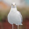 Herring Gull, Larus argentatus 5390