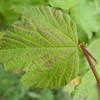 Guelder Rose, Viburnum Opulus 9252