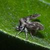 Moth Fly, Pericoma species 0351
