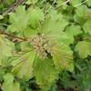 Guelder Rose, Viburnum Opulus 9251
