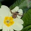 Crab Spider, Misumena vatia 0228