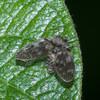 Moth Fly, Pericoma species 0339