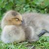 Greylag Goose gosling, Anser anser 0480