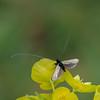Green Longhorn, Adela reaumurella 0234