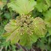 Guelder Rose, Viburnum Opulus 9250