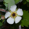 Wild Strawberry, Fragaria vesca 0126
