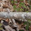 Lesser Treble-bar, Aplocera efformata 9228