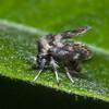 Moth Fly, Pericoma species 0355