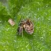 Spider, Dictyna uncinata 0479