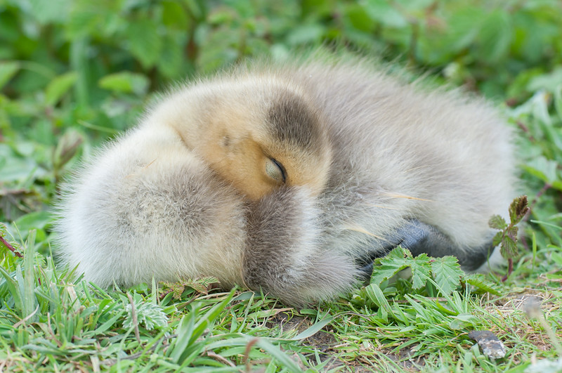 Greylag Goose gosling, Anser anser 0483