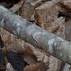 Lesser Treble-bar, Aplocera efformata 0177