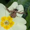 Crab Spider, Misumena vatia 0229
