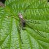 Common Stretch Spider, Tetragnatha extensa 0467