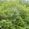 Guelder Rose, Viburnum Opulus 9253