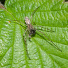 Common Stretch Spider, Tetragnatha extensa 0468