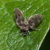 Moth Fly, Pericoma species 0343