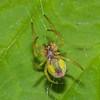 Cucumber Green Spider, Araniella cucurbitina 0357