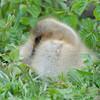 Greylag Goose gosling, Anser anser 0482