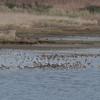 Lapwing, Vanellus vanellus, Redshank, Tringa totanus and Dunlin, Calidris alpina 5525