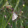 Cinerous Pearl, Anania fuscalis on Quaking Grass, Briza media 5407