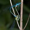 Azure Damselflies mating, Coenagrion puella 5542