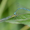 Azure Damselflies mating, Coenagrion puella P1250006