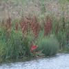 Dock Leaf, Rumex obtusifolius, Autumn colours 3166