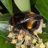 Buff-tailed bumblebee, Bombus terrestris 3257