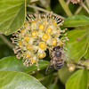 Ivy Bee, Colletes hederae 3226