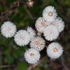 Blue Fleabane, Erigeron acer, seed heads 3215