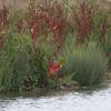 Dock Leaf, Rumex obtusifolius, Autumn colours 3165