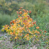 Sycamore, Acer pseudoplatanus, Autumn colours 3204