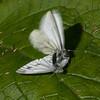 Green-veined White courtship & rejection, Pieris napi 2383