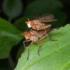Snail-killing fly, Tetanocera species 7668