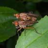 Snail-killing fly, Tetanocera species 7666