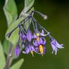 Woody Nightshade, Solanum dulcamara 7315