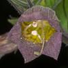 Deadly Nightshade, Atropa belladonna 7346