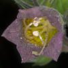 Deadly Nightshade, Atropa belladonna 7348