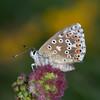 Adonis Blue, female, Polyommatus bellargus 3344