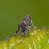 Cocksfoot Moth, Glyphipterix simpliciella 3384