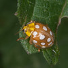 Orange Ladybird, Halyzia sedecimguttata 2840