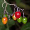 Woody Nightshade, Solanum dulcamara 2824