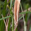 Common Grass-veneer, Agriphila tristella 2944