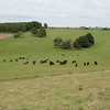 Cattle by Cissbury Ring 9874