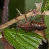Red-legged Shieldbug, Pentatoma rufipes 2902